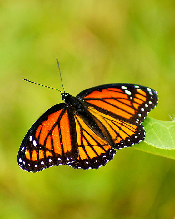 Monarch Butterfly Print by Carol Toepke