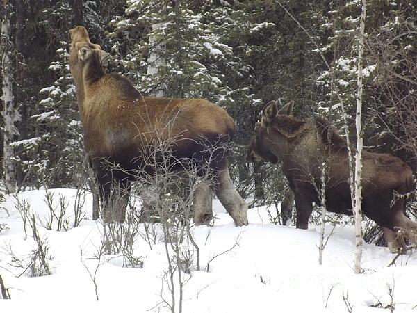 Moose Print by Jennifer Kimberly