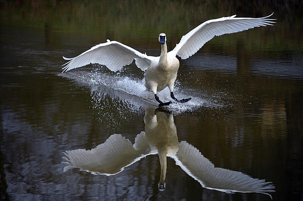 Brian Stevens - Trumpeter swan