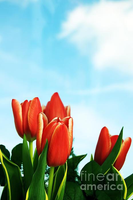 Tulips Background Print by Michal Bednarek