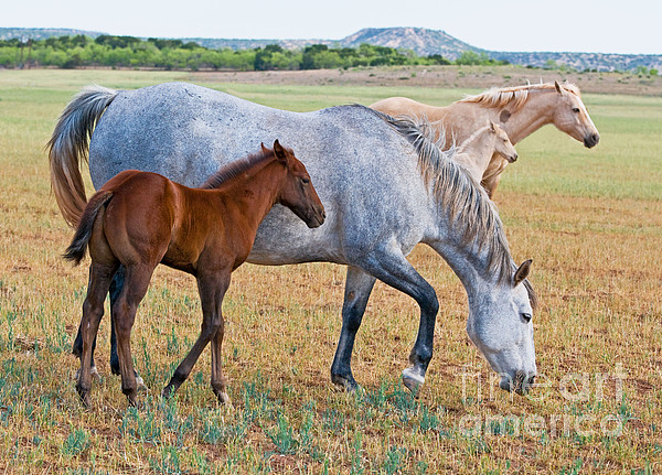 Wild Horse Mother And Foal Print by Millard H Sharp