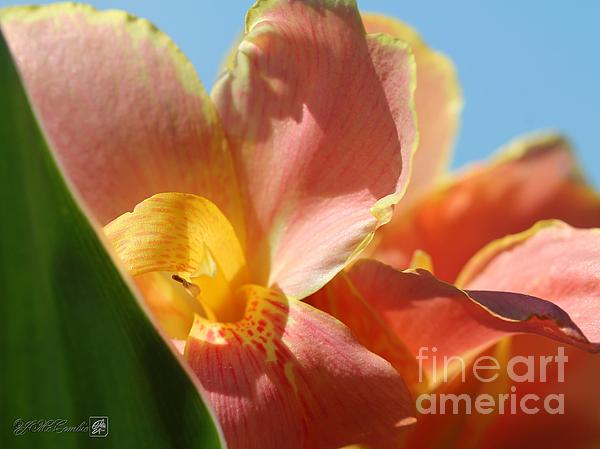 Dwarf Canna Lily Named Corsica Print by J McCombie