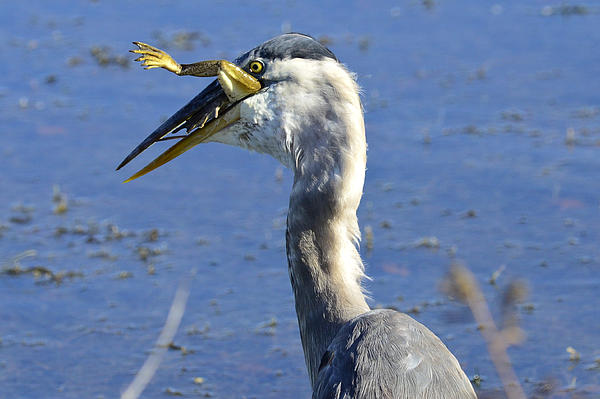 Gerald Eisen - Great Blue Heron