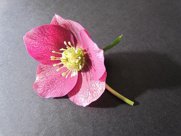 Joyce Woodhouse - Pink Flower
