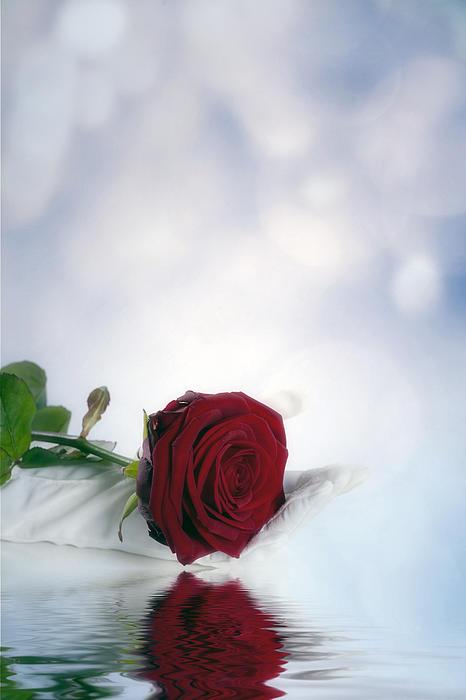 Red Rose Print by Joana Kruse