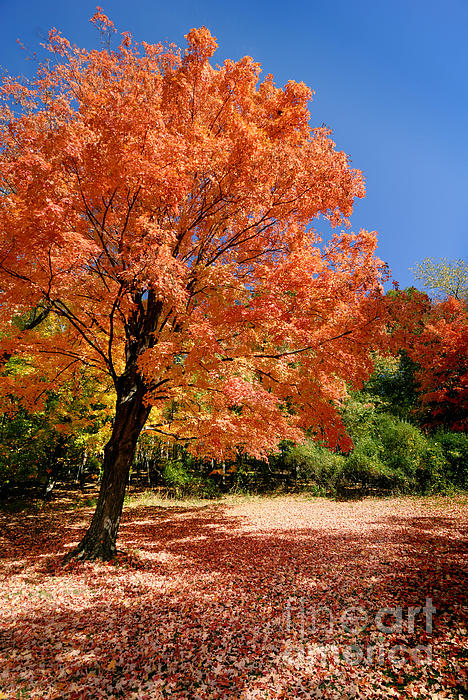 A Blanket Of Fall Colors Print by Amy Cicconi