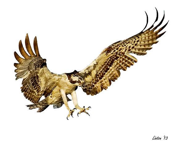 Osprey Flight Print by Larry Linton