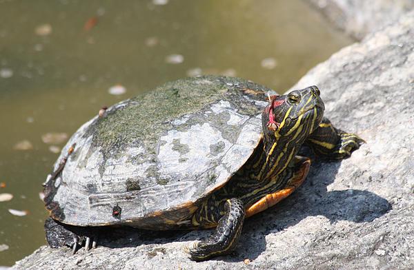 John Telfer - 75 Year Old Turtle Moving On