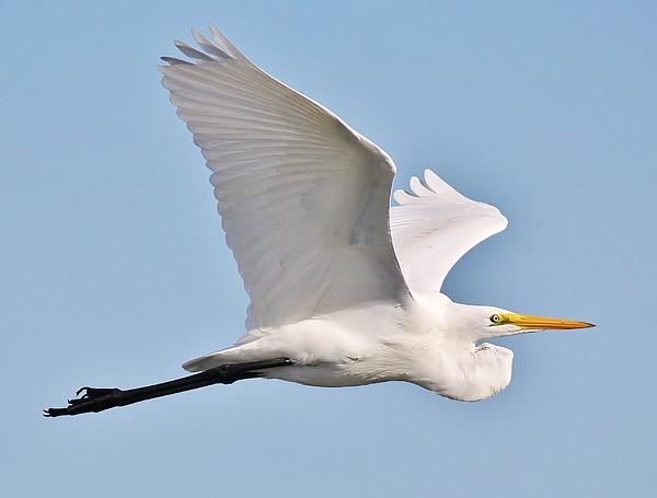 Great White Egret In Flight Print by Paulette Thomas