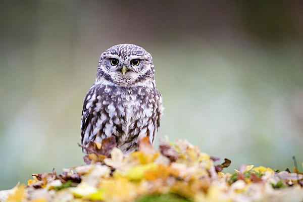 Don Hooper - Little Owl