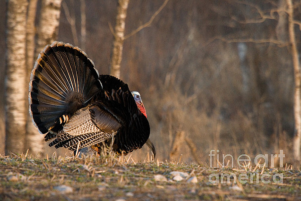 Male Eastern Wild Turkey Print by Linda Freshwaters Arndt