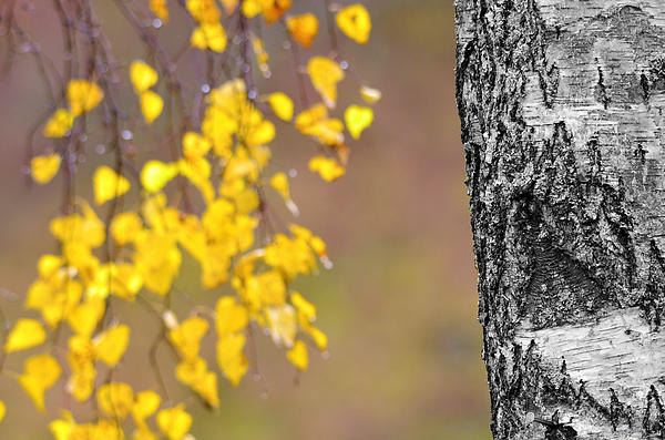 A Birch At The Lake Print by Toppart Sweden