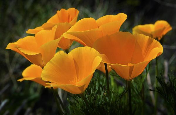 Saija  Lehtonen - A Bouquet of Poppies