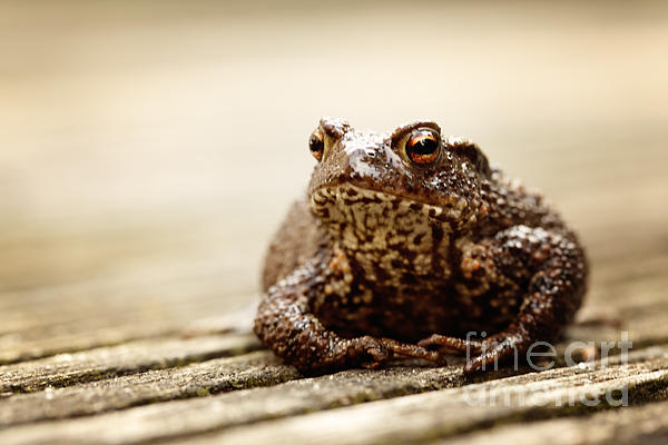 HJBH Photography - A close-up of a true toad