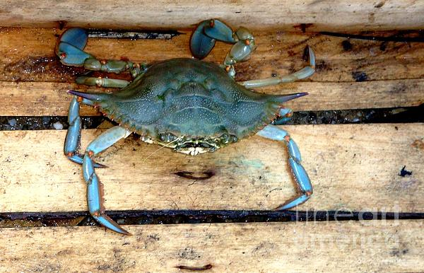 A Crab In A Wooden Box Print by Olga R