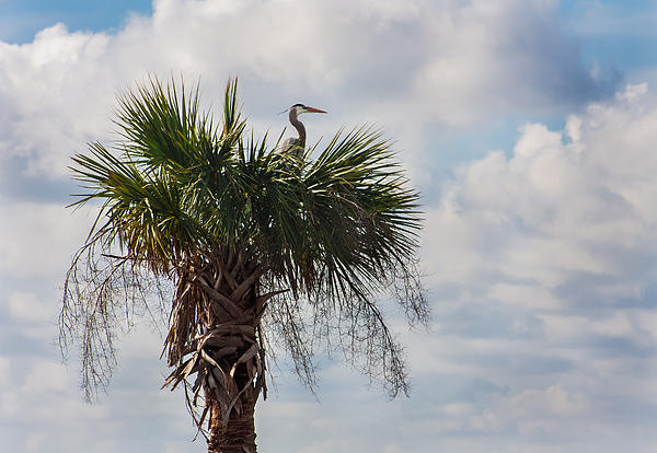 A Great Blue Heron Nests On A Cabbage Palmetto Print by Karen Stephenson