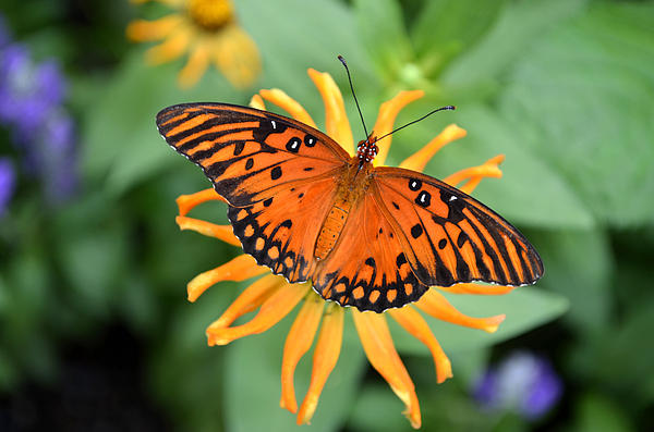 Eva Kaufman - A Gulf Fritillary Butterfly on A Yellow Daisy