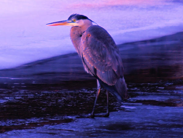 A Heron On The Moyie River Print by Jeff  Swan