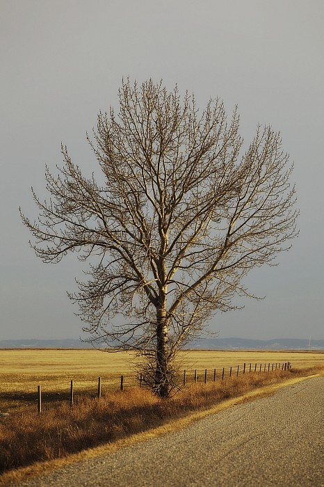 A Poplar Tree By The Side Of A Gravel Print by Roberta Murray