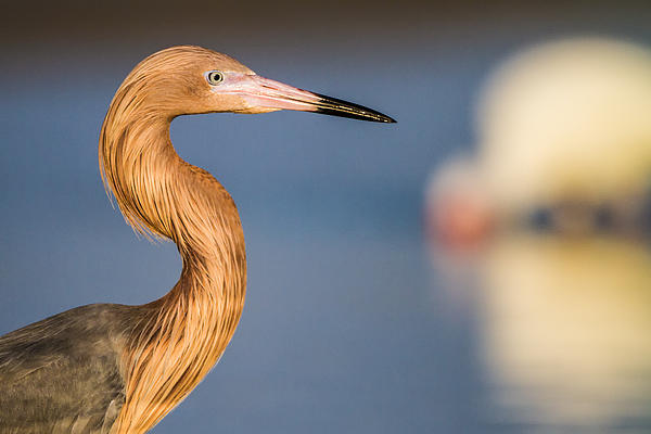 A Reddish Egret Profile Print by Andres Leon