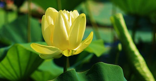 A Single Lotus Bloom Print by Bruce Bley