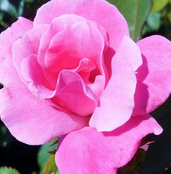 A Single Pink Rose Print by Eloise Schneider