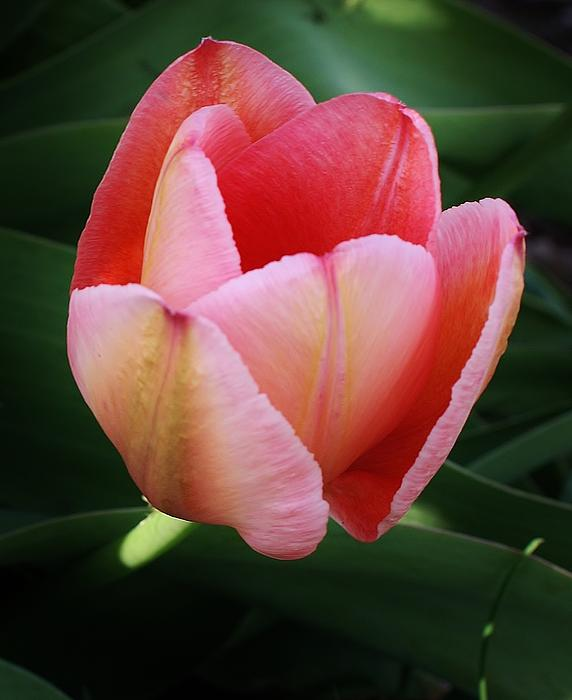 A Single Pink Tulip Print by Bruce Bley
