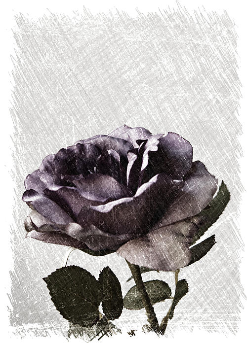 A Sketch Of A Rose Print by Sherry Hallemeier