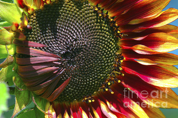 A Sunflower For The Birds Print by Sharon  Talson