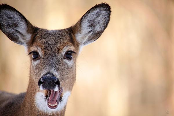 A Talking Deer Print by Karol  Livote