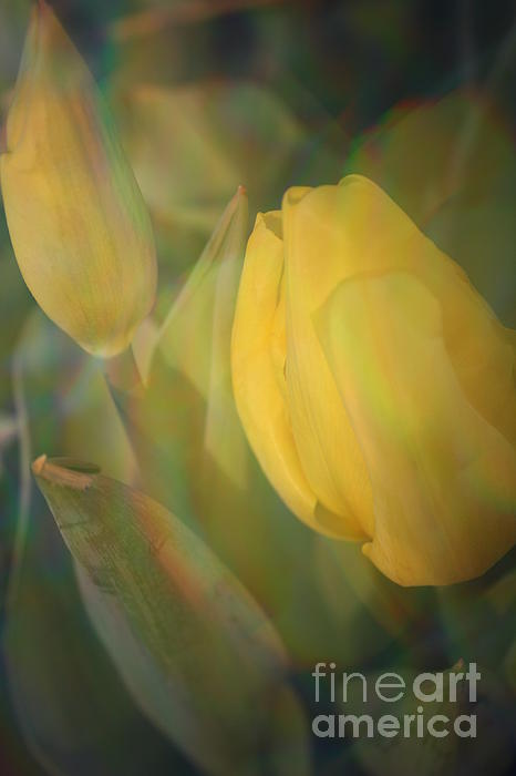 A Touch Of Gold - Impressionistic Tulips Print by  Photographic Art and Design by Dora Sofia Caputo