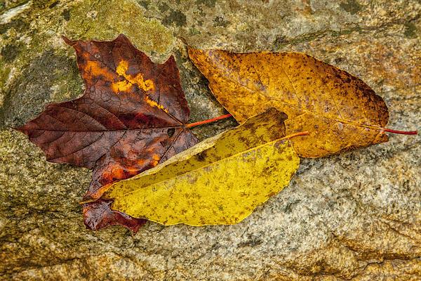Karol  Livote - A Trio of Leaves