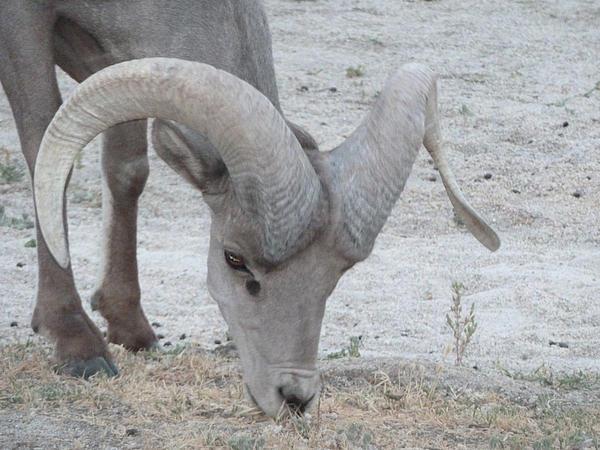 A Young Desert Bighorn Grazes On Print by Carolina Liechtenstein