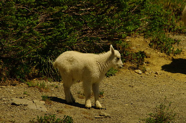 A Young Mountain Goat Print by Jeff  Swan
