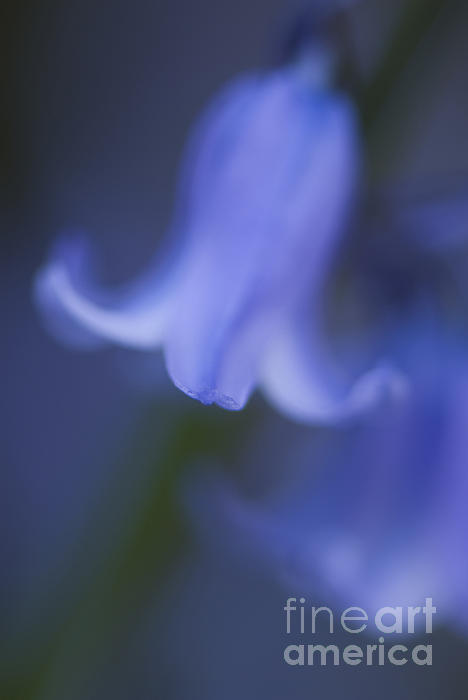 Abstract Bluebell Print by Anne Gilbert