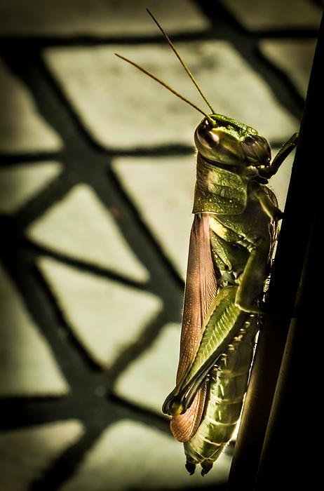 Karen Wiles - Abstract Grasshopper