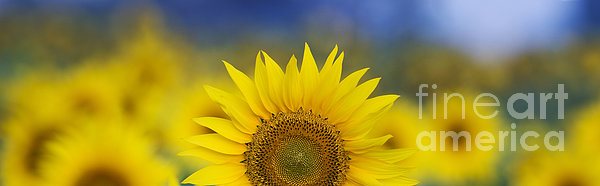 Abstract Sunflower Panoramic Print by Tim Gainey