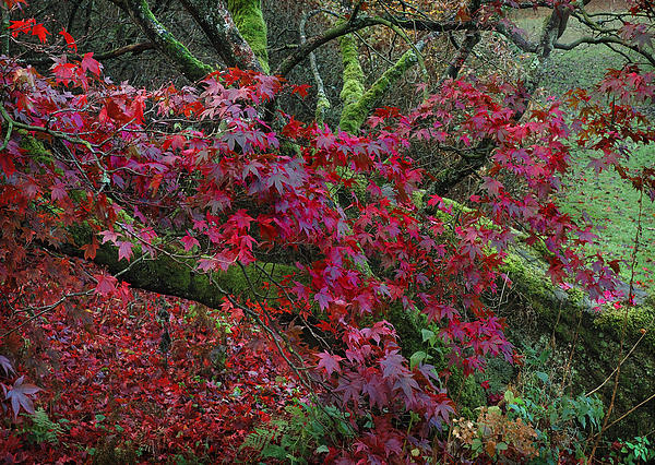 Acer Chatsworth Gardens Print by Jerry Daniel