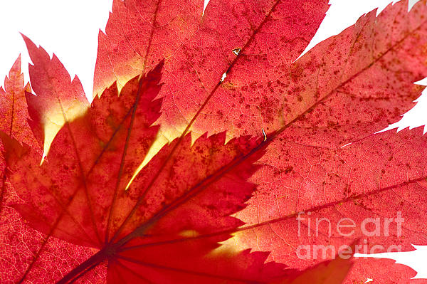 Acer From Beneath Print by Anne Gilbert
