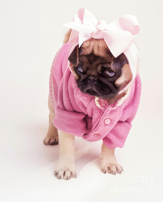 Adorable Pug Puppy In Pink Bow And Sweater Print by Edward Fielding