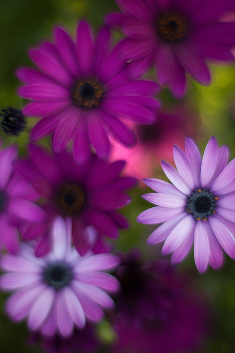 African Daisy Collage Print by Mike Reid