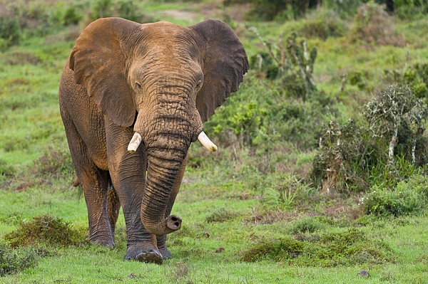 African Elephant Print by Science Photo Library