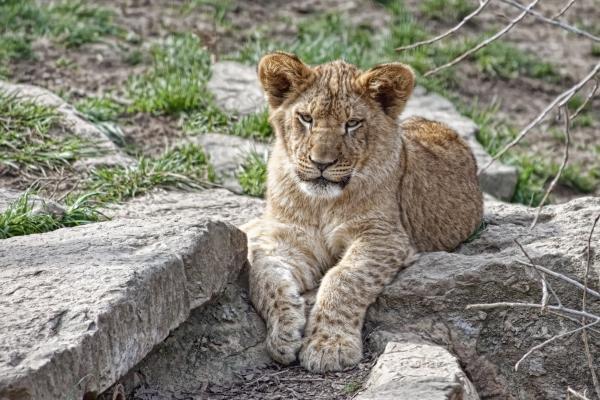 African Lion Cub Print by Tom Mc Nemar
