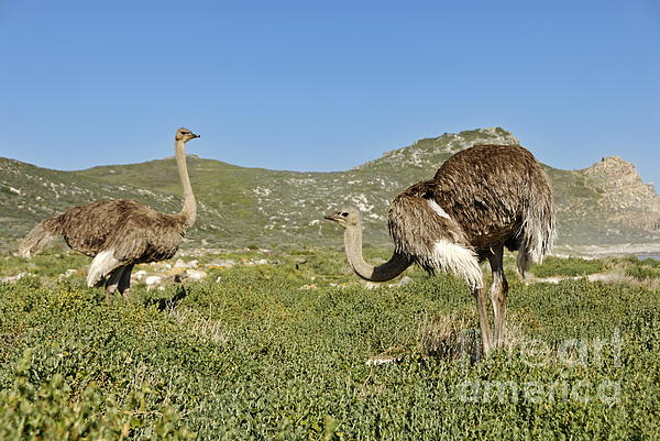 African Ostriches Foraging Next To Beach Print by Sami Sarkis