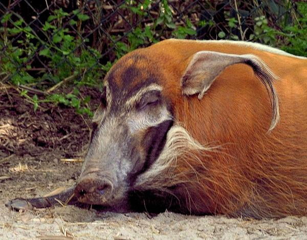 African Red Wild Hog Print by Maria Urso