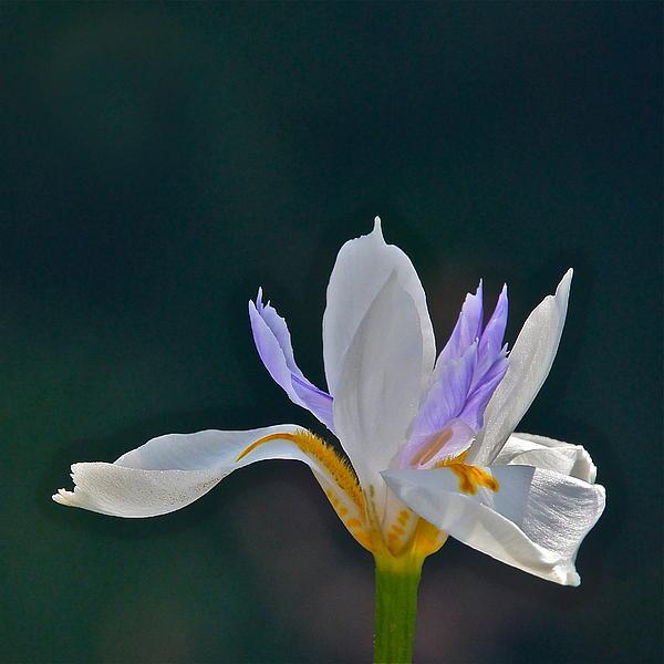 Byron Varvarigos - African Wild Iris square frame