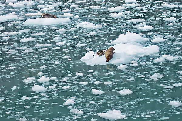 Alaska Seals Print by Aimee L Maher Photography and Art
