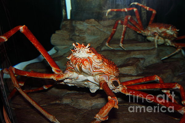 Alaskan King Crab 5d24125 Print by Wingsdomain Art and Photography