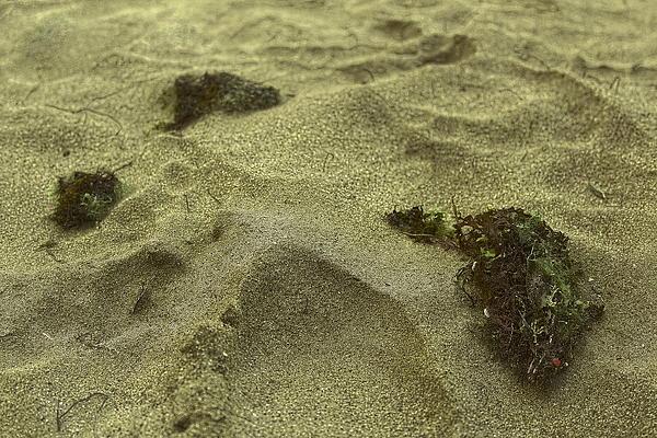 Algea Left On The Sand Print by Sandra Pena de Ortiz