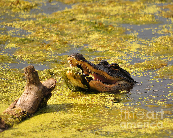 Al Powell Photography USA - Alligator Ambush